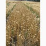 Семена пшеницы озимой - сорт Фаворитка. 1 репродукция