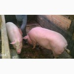 Продам домашних свиней живым весом 170-240