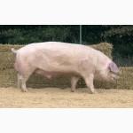 Племенные свиньи Испанской селекции (Дюрок, Пьетрен, Ландрас)