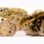 Яйцо инкубационное перепела Фараон селекция Испании и молодняк