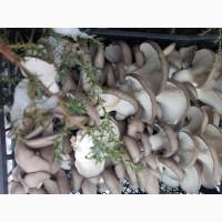 Продам гриби гливу