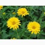 Гелиопсис подсолнечниковидный многолетний цветок