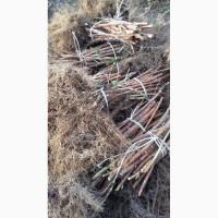 Продам саженцы малины ремонтантного сорта польской селекци ПОЛКА