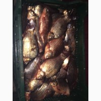 Продам рыбу свежемороженую. Мелкий, средний и крупный ОПТ КАРАСЬ