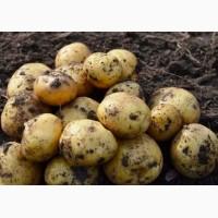 Продам картофель оптом. Урожай 2017 от производителя Черниговская обл. 2.50 грн/кг