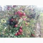 Продам яблука Чемпіон та інші сорта