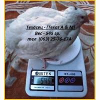 Инкубационные яйца перепелов для маточного стада