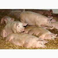 Продам свиней живой вес. Домашнее хозяйство