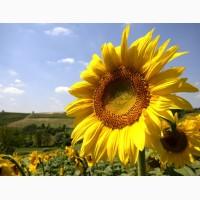 Посівний матеріал гібридів соняшнику під євро-лайтнінг