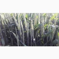 Продам посівний матеріал озимої пшениці Мескаль