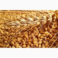 Закупаем пшеницу. Высокая цена