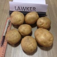 Картофель из Индии оптом (минимум 25-28 тонн, 40' контейнер)