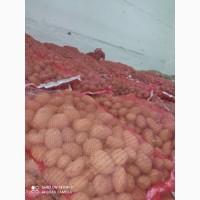 Картоплюя з Бельгії, сорт Агата
