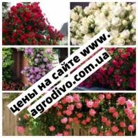 Саженцы плетистых, английких, чайно-гибридных, бардюрных, парковых и миниатюрных роз