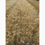 Семена пшеницы озимой - сорт Колумбия. 1 репродукция