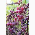 Саженцы морозостойкого винограда