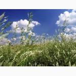 Продам семена донника белого однолетнего (буркун)