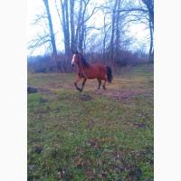 Продам лошадь (вестфалец)