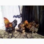 Куры брама куропатчатая цыплята инкубационное яйцо