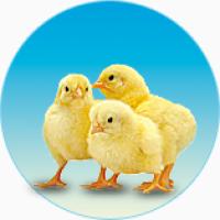 Суточные цыплята под заказ