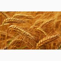 Куплю пшеницу разную дорого