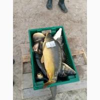 Живая рыба Карп, Амур, Толстолоб, Щука, Карась