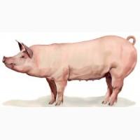 Свинина Живою Вагою