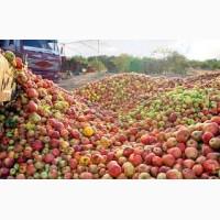Закупаем яблоки на переработку дорого