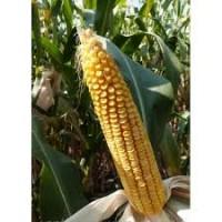 Семена кукурузы МУАСОН