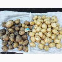 Картофель молодой сорта Ривьера ОПТОМ! Картопля, картошка