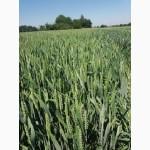 Продам насіння ярої пшениці НАДРА