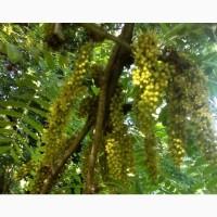 Акация американская гледичия желтая саженцы медонос купить украина дерево гледиция
