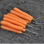 Семена моркови Эксельсо F1. Exelso f1. Производитель Vilmorin Франция.