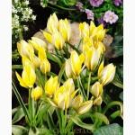 Продам луковицы Тюльпанов Ботанических