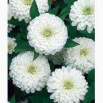 Продам семена Цинния изящная Лилипутэк, белая