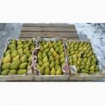 Продам грушу Ноябрську з холодильника. Ціна договірна. Чиста без градобою та парші