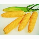 Продам семена кукурузы Оржица 237 МВ