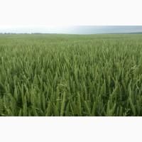 Сорт озимої пшениці Скаген, 1 репродукція