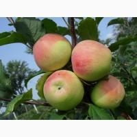 Продам яблука та саджанці. Велика кількість сортів. м.Шаргород