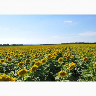 Семена подсолнечника Лимит. под евролайтинг