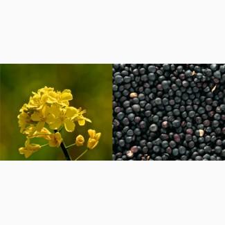 Шелбі (середньоранній) насіння озимого ріпаку