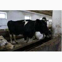Продаются высокопродуктивные коровы 4 головы