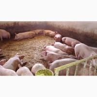 Куплю свиней живою вагою