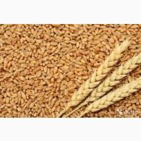 Закупаем продовольственную и фуражную пшеницу. Высокая цена