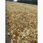 Семена пшеницы озимой - сорт Куяльник. 1 репродукция
