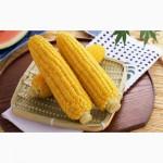 Насіння врожайної канадської кукурурузы Ghost (Джихост)