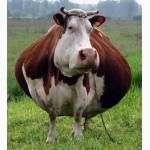 Закупаем коров от 400 кг по высокой цене, только ОПТ