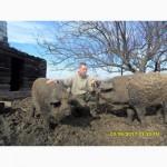 Кнур и свиноматки мангала на племя. Недорого