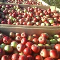 Продаю яблука сорт айдаред 6.5+газоване 150тон