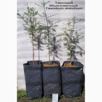 Секвойядендрон, таксодий, секвойя вечнозеленая, метасеквойя